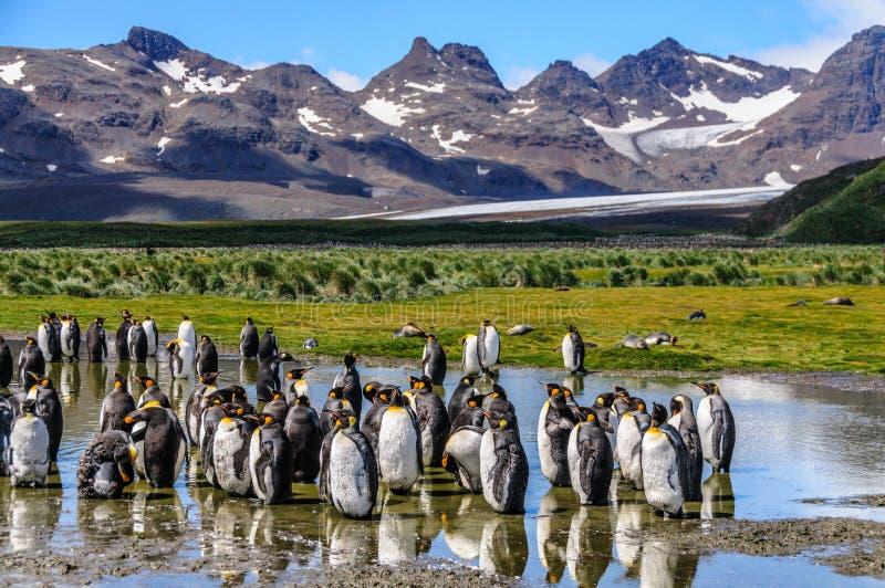 King Penguins on Salisbury Plains. A large group of King Penguins - Aptenodytes patagonicus - standing in a pool of water on Salisbury Plains, South Georgia stock images