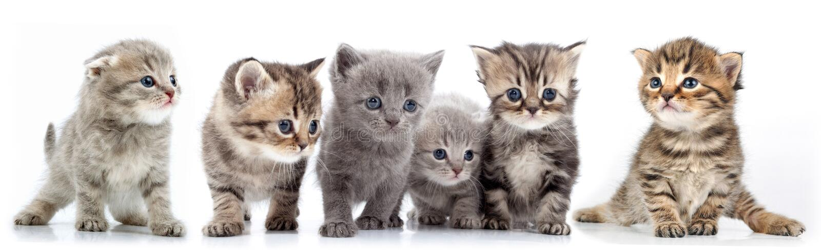 Large group of kittens against white background royalty free stock photo