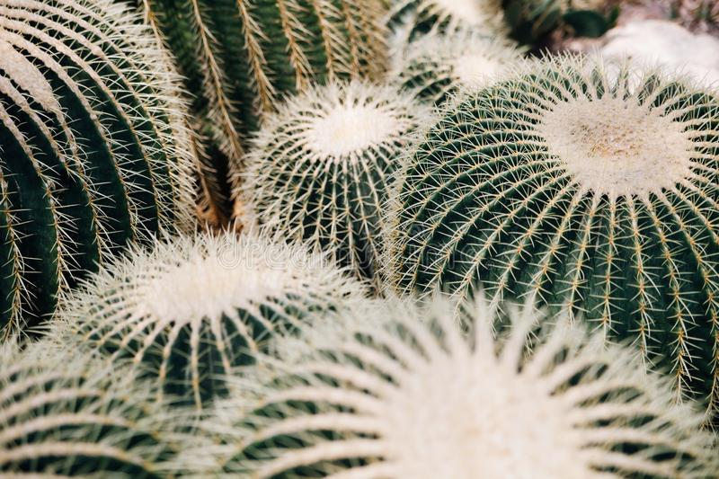 A large group of cacti royalty free stock images