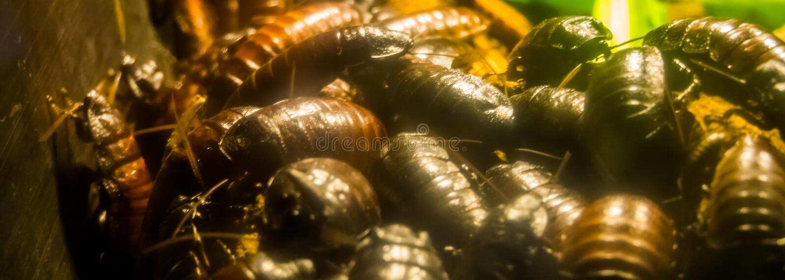 Large group of madagascar hissing cockroaches in closeup, big family of giant roaches, tropical insect specie from madagascar royalty free stock photo