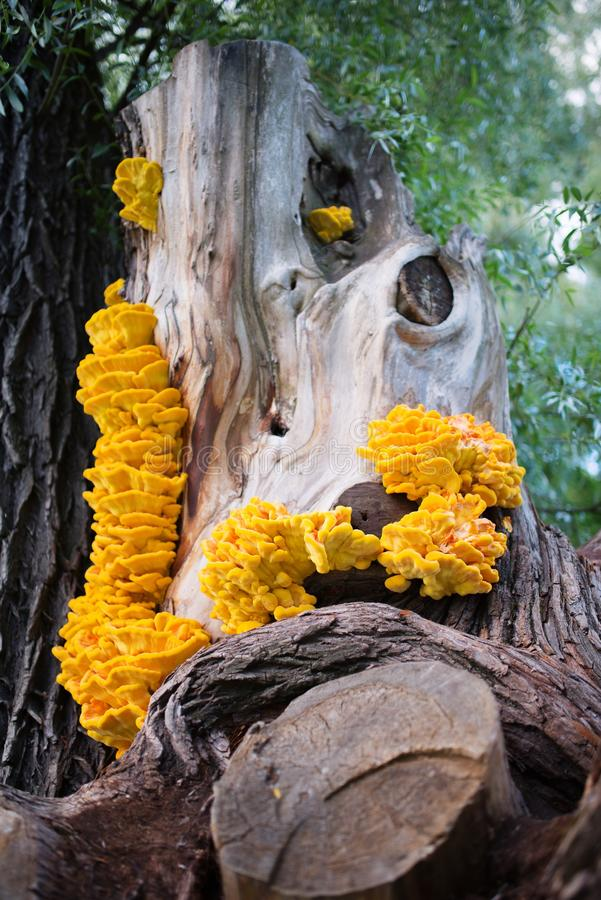 A large group of mushrooms chicken of the woods on a willow royalty free stock images