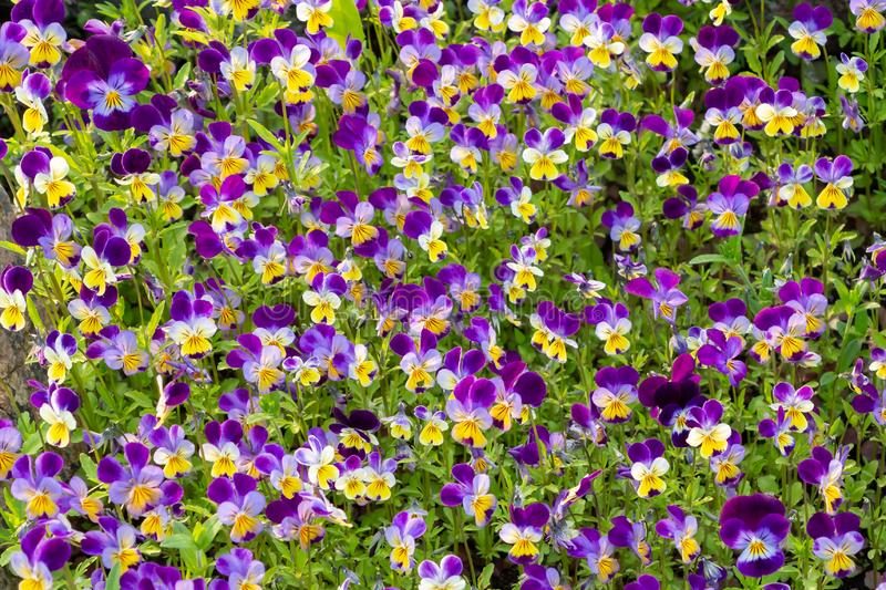 Large group of perennial yellow-violet Viola cornuta, known as horned pansy or horned violet.  royalty free stock image