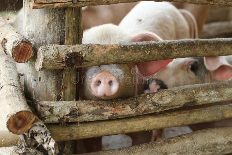 large group of pigs playing together an waiting to be fed in their timber old farm style pig pen on a farm in Northern Thailand royalty free stock images