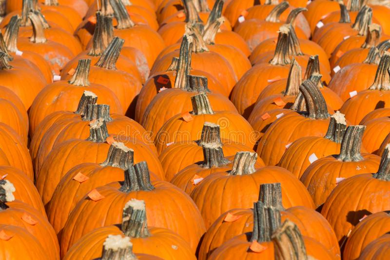 Large Group of Pumpkins For Sale in Pumpkin Patch stock image