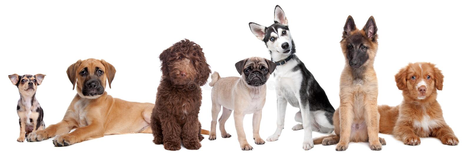 Large group of puppies. On a white background.from left to right,blue merle Chihuahua, mixed breed Mastiff, chocolate brown medium Labradoodle,Pug,Alaska royalty free stock photo