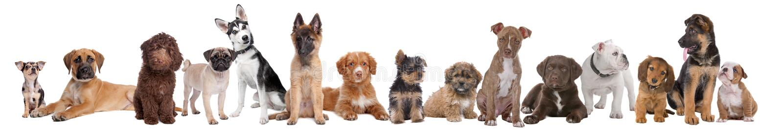 Large group of puppies. On a white background.from left to right,blue merle Chihuahua, mixed breed Mastiff, chocolate brown Labradoole,Pug,Alaska Malamute royalty free stock image