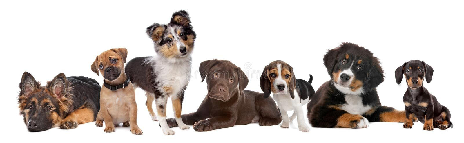 Large group of puppies on a white background. From left to right,German Shepherd, mixed breed pug, Shetland sheepdog,chocolate Labrador,Beagle,Bernese Mountain royalty free stock photography