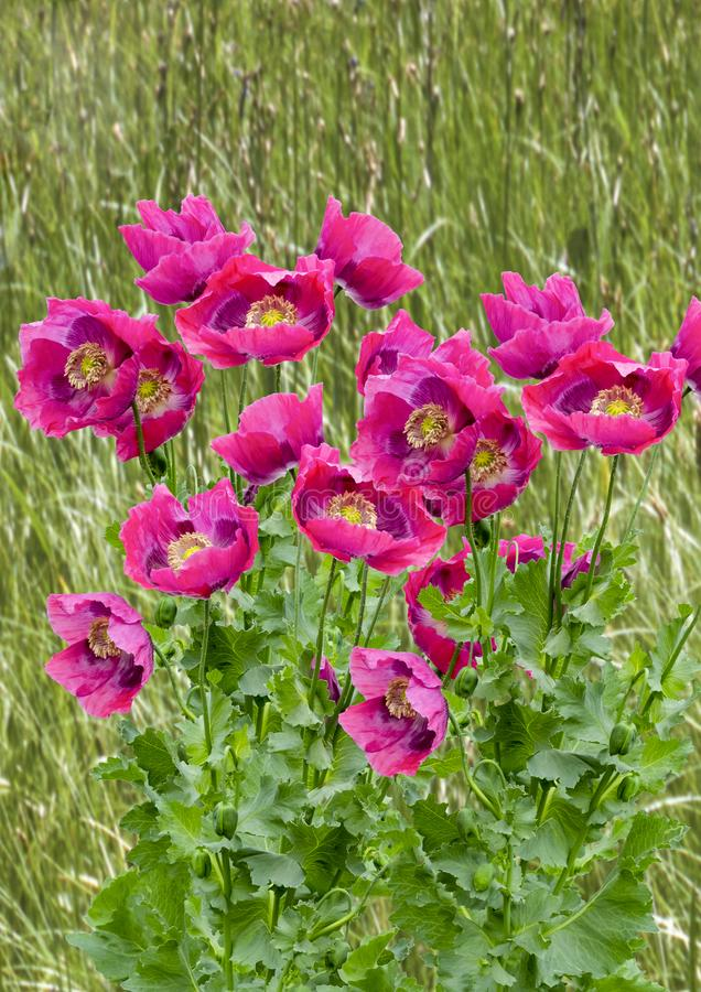 Poppies Galore. LARGE GROUP OF PURPLE POPPIES ON A GRASSY BACKGROUND SUITABLE FOR GREETINGS CARD royalty free stock photography