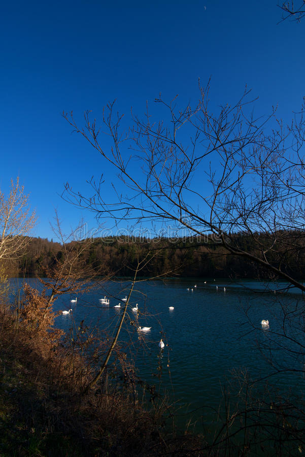 Large group of swans in a lake in winter royalty free stock photos