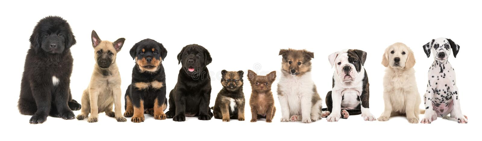 Large group of ten different kind of breed puppies stock image