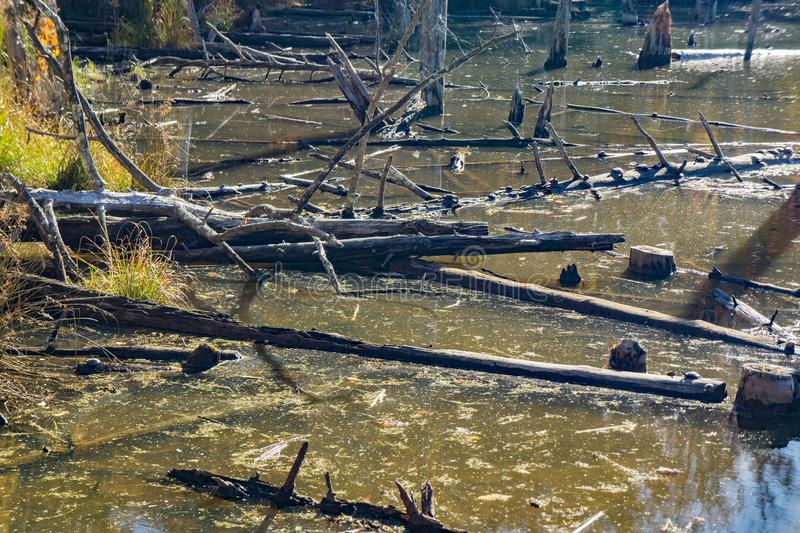 Large Group of Turtles Resting on Logs royalty free stock photography