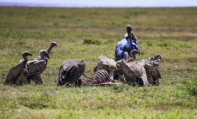 Vultures eating prey leaving only the ribcage of the prey royalty free stock photo