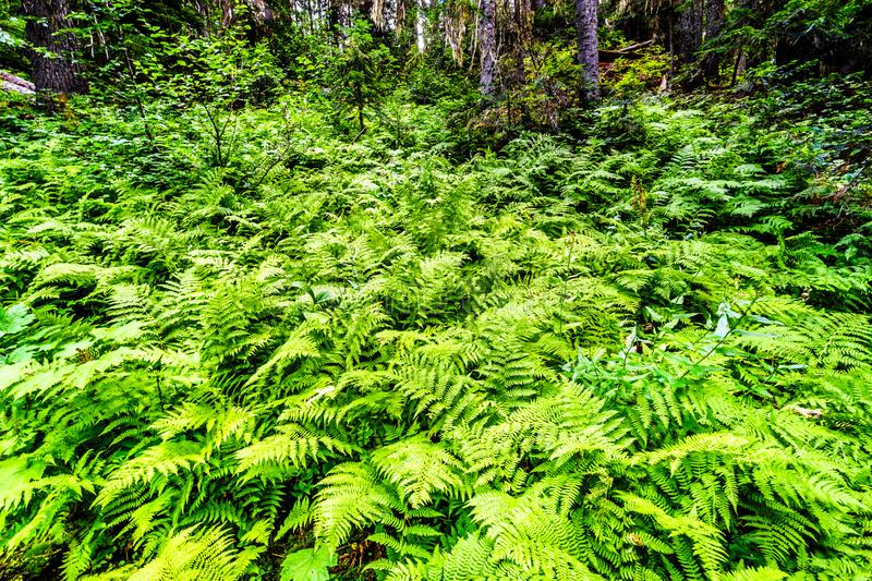 Western Sword Ferns at Falls Lake near the Coquihalla Summit in British Columbia, Canada royalty free stock photo