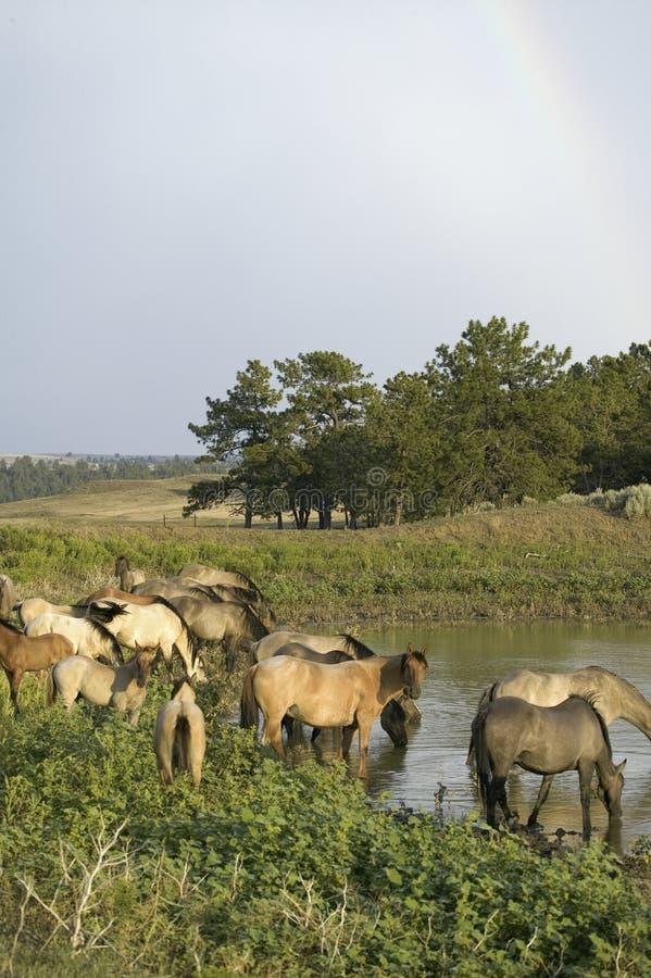 Download Large Group Of Wild Horses Wading Stock Image - Image: 27073801
