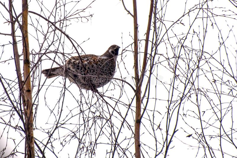 A large grouse bird sits on thin bare branches of a birch stock images