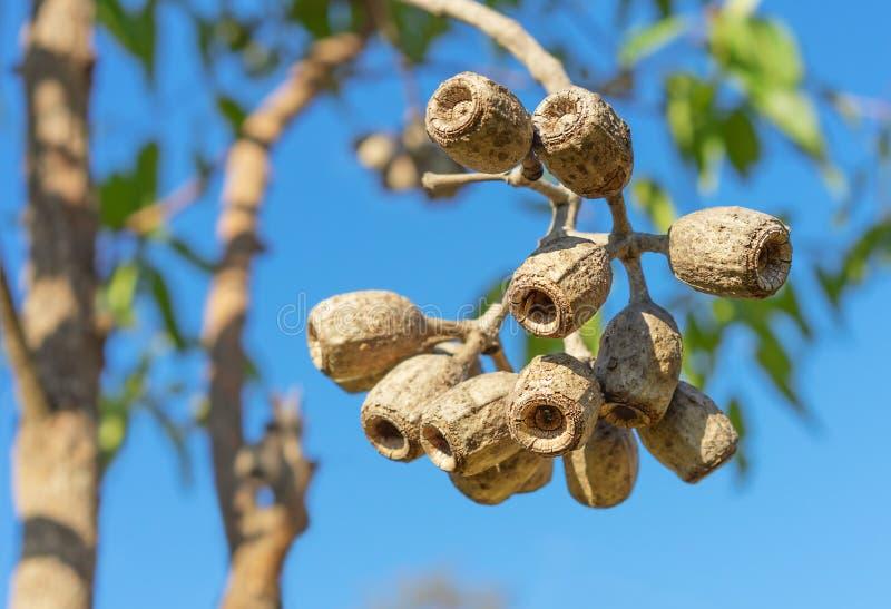 Large gum nuts close up. Large Eucalyptus gum nuts of Corymbia ptychocarpa phytocarpa Australian Swamp Bloodwood stock photo