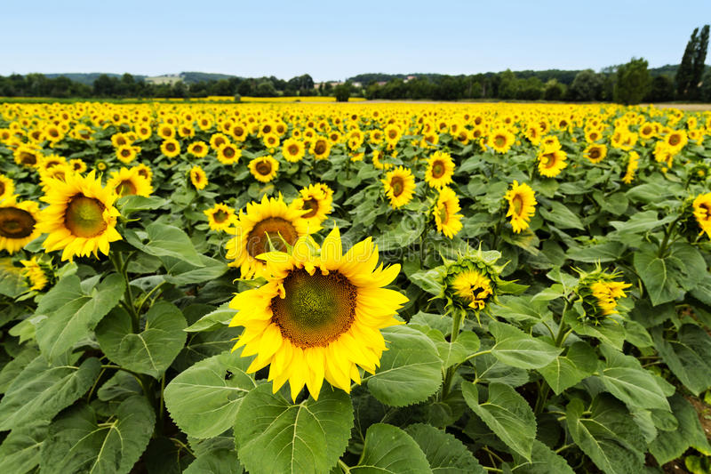 Large happy sunflower and sunflower oil crop on a sunny day in t stock photos