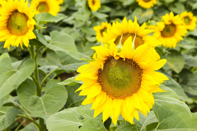 Large happy sunflower and sunflower oil crop on a sunny day in t royalty free stock photo