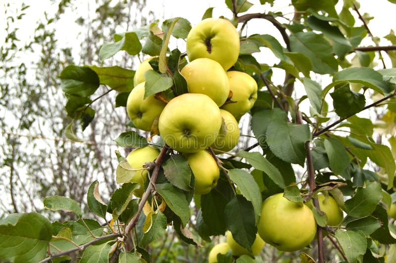 Large harvest of apples, ripe green apples hanging on a branch stock photo