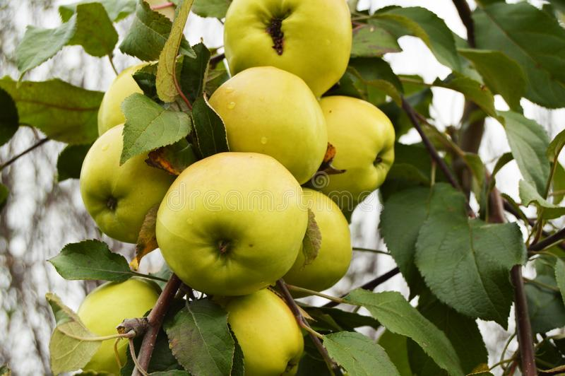 Large harvest of apples, ripe green apples hanging on a branch royalty free stock photography