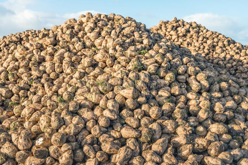 Large heap with many harvested sugar beets royalty free stock photography