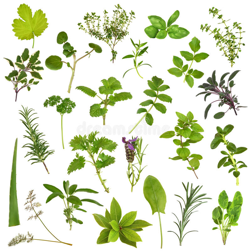 Large Herb Leaf Selection. In abstract design over white background stock photo