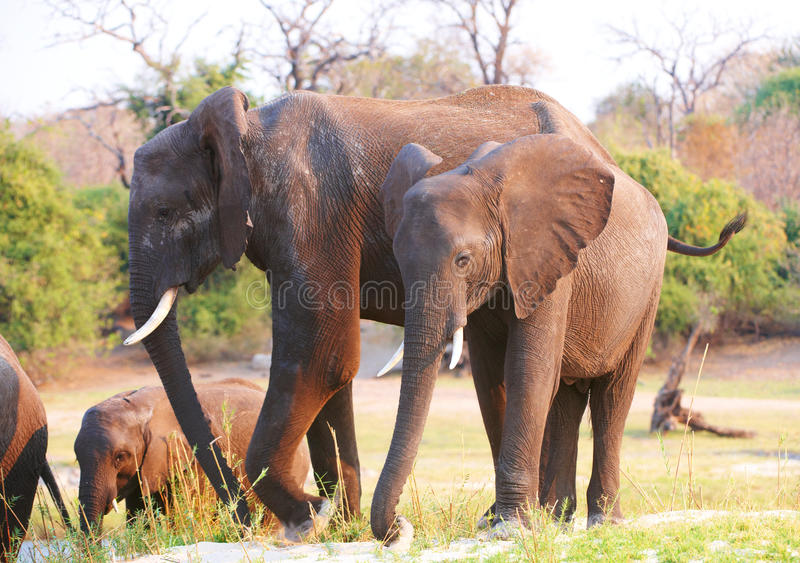 Download Large Herd Of African Elephants Stock Photo - Image: 18155556
