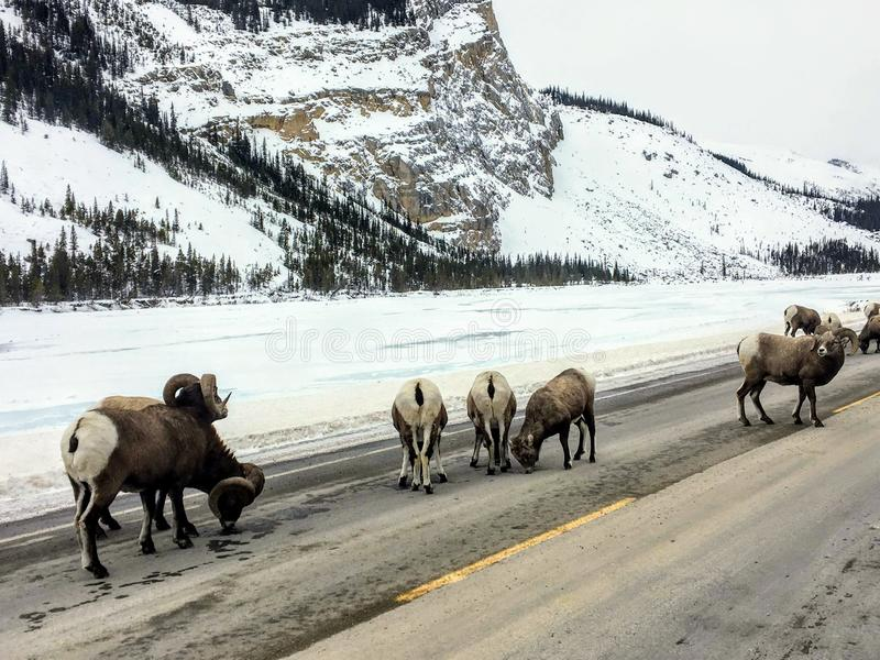 A large herd of bighorn sheep, also known as Ovis canadensis, walking along the highway licking salt off the road on a winter day royalty free stock photos