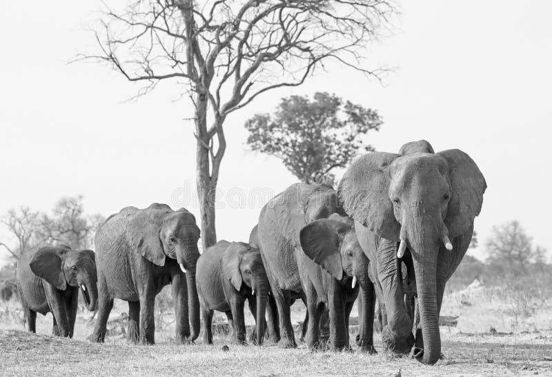 Large herd of elephants in black and white walking forwards in Hwange National Park. Herd of elephants walking forwards towards camera in Hwange National Park stock photo