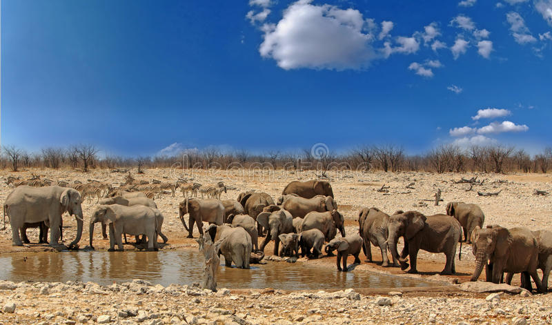 Large herd of elephants at a waterhole with a vibrant blue sky in Etosha National Park, Namibia. Large Herd of elephants drining from a waterhole in Etosha stock photos