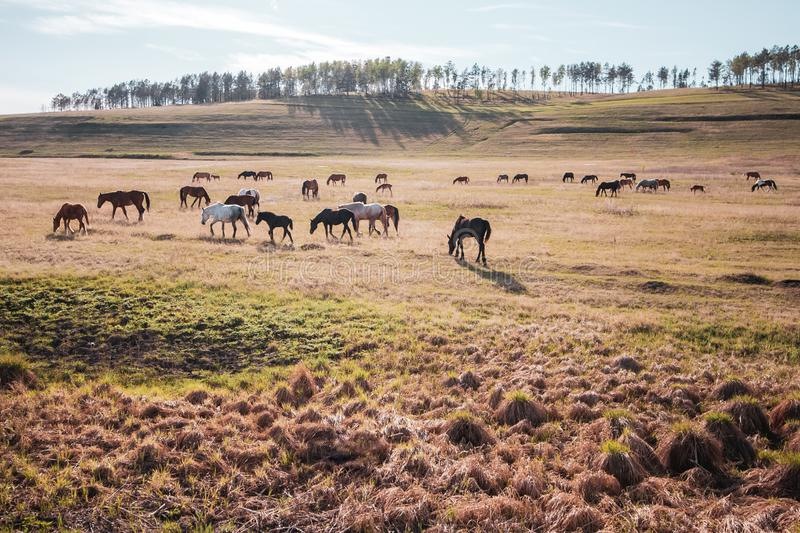 A large herd of horses graze in the meadow in the sun. royalty free stock image