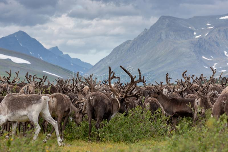 Large herd of reindeer in background of mountains. Large herd of reindeer in the background of mountains, Yamal stock photography