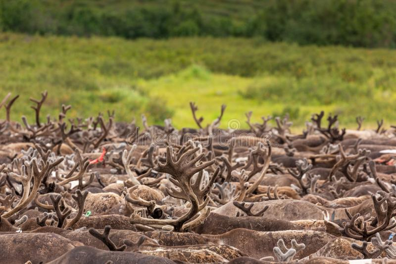Large herd of reindeer close up, Yamal. Russia stock images