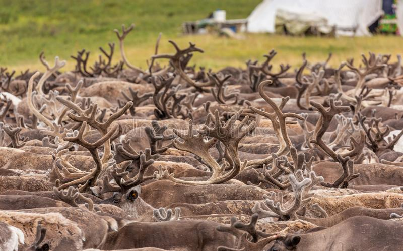 Large herd of reindeer close up. Yamal, Russia stock photography