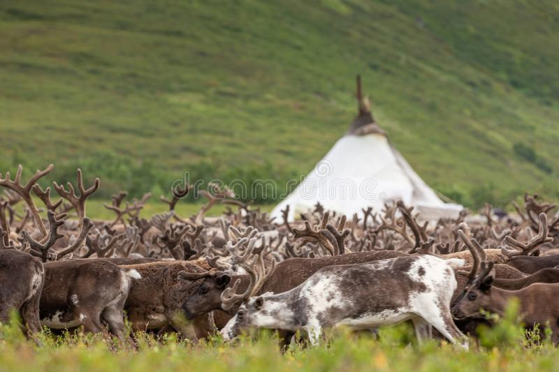 Large herd of reindeer near chooms. Yamal, Russia stock images