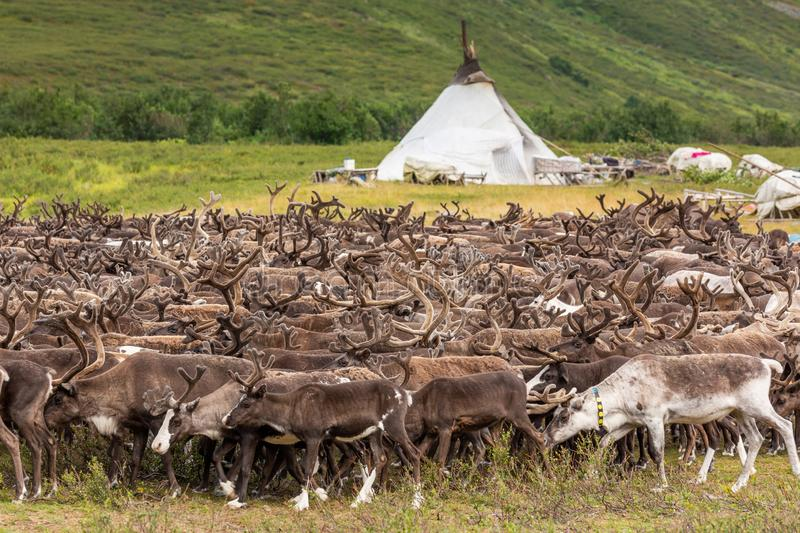Large herd of reindeer near chooms. Yamal, Russia royalty free stock images