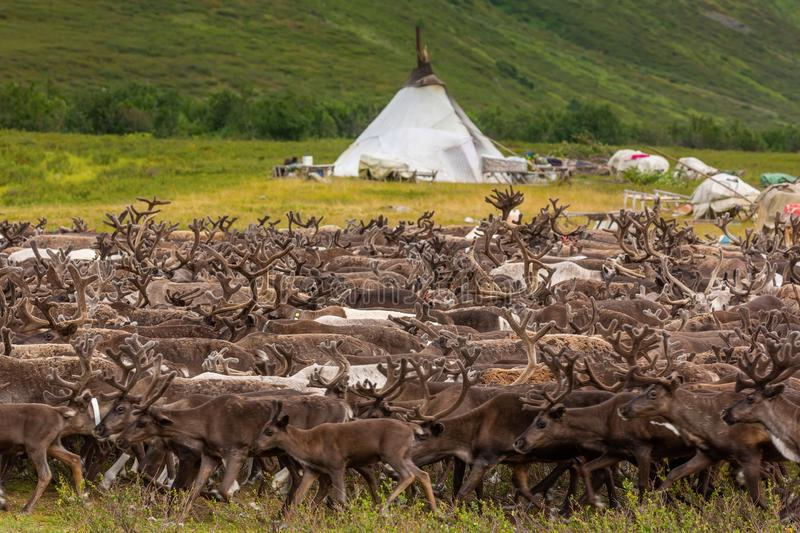 Large herd of reindeer near chooms, Yamal. Russia royalty free stock photos