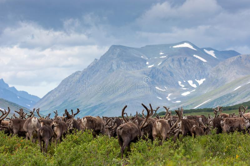 Large herd of reindeer in tundra in background of mountains. Large herd of reindeer in the tundra in the background of the mountains, Yamal royalty free stock image