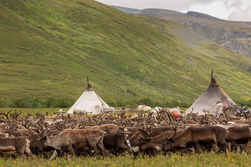 Large herd of reindeers in summer. Yamal, Russia royalty free stock photography