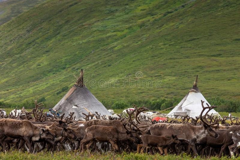 Large herd of reindeers in summer. Yamal, Russia stock images