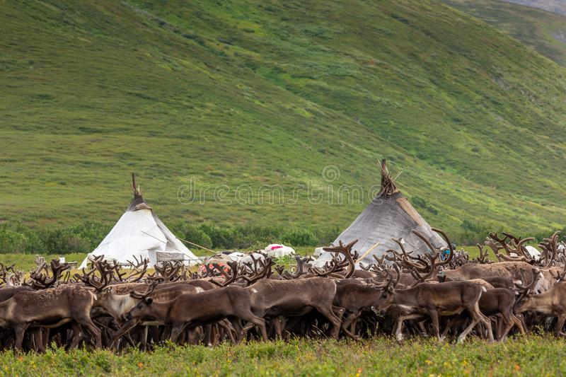 Large herd of reindeers in summer. Yamal, Russia royalty free stock images