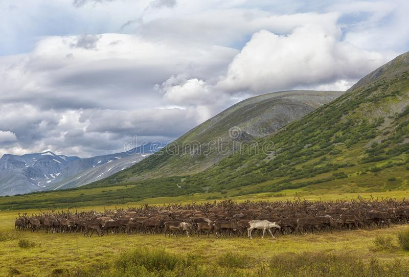 Large herd of reindeers in summer,. Yamal, Russia royalty free stock image