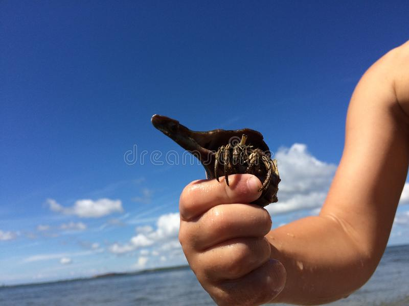 Not so shy Hermit crab stock photography
