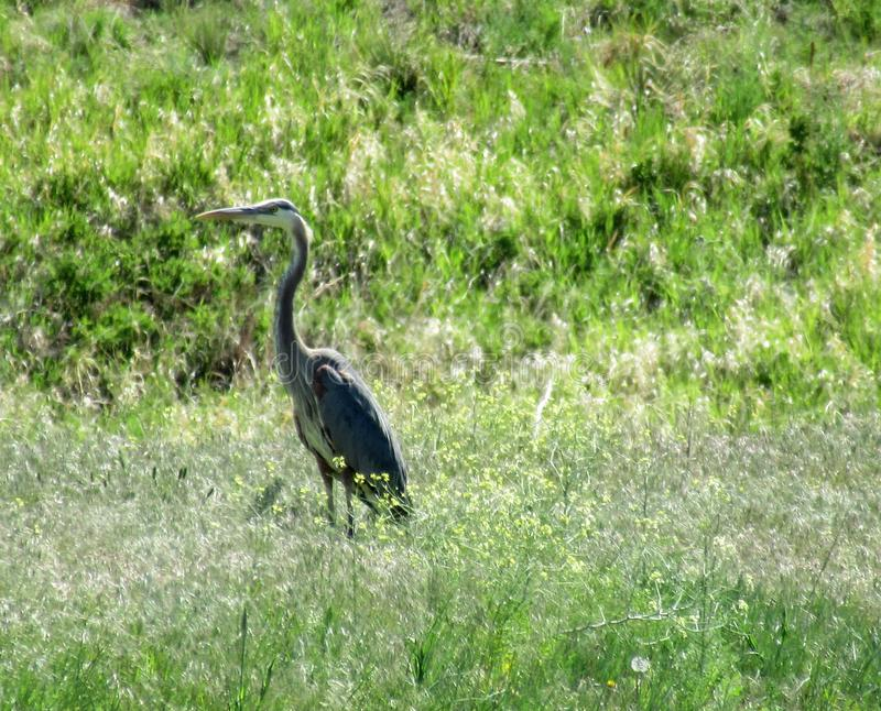 Large heron standing in grass royalty free stock photos