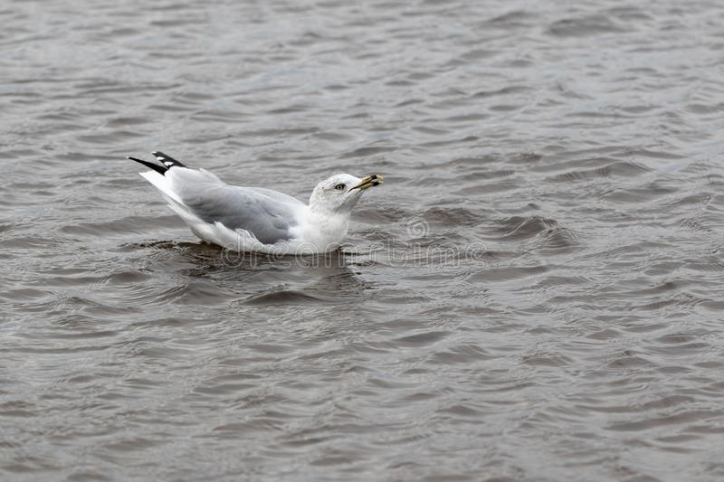 Herring gull making noise in the water. A large herring gull Larus argentatus on the Ottawa River in northern Ontario in October stock images