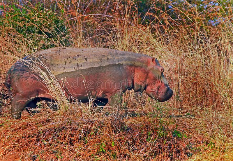 A large Hippopotamus on the river bank stock photo