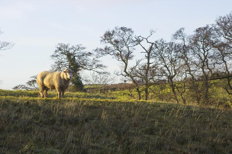 A large hornless ram standing proudly in a field in County Down in Northern Ireland royalty free stock photography
