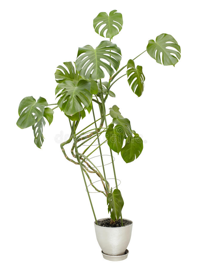 Large houseplant, tall tree in a pot royalty free stock photos