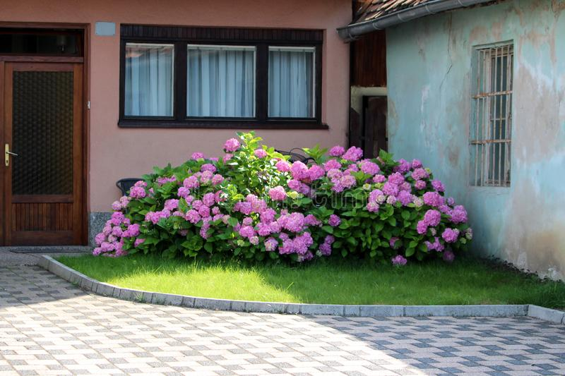 Large Hydrangea or Hortensia garden shrub full of open blooming pink flowers with pointy petals densely planted next to family. House driveway surrounded with royalty free stock photos