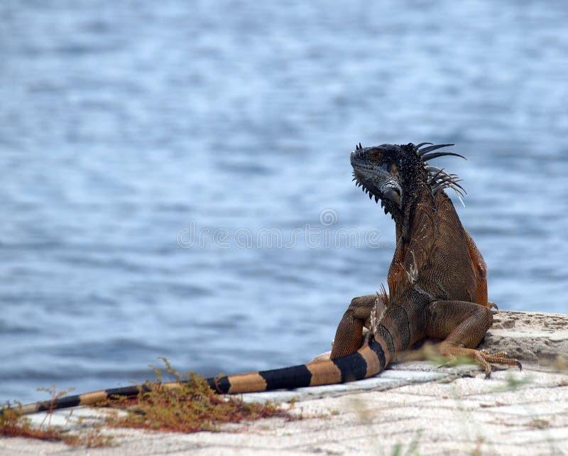 Large Iguana Grand Cayman royalty free stock image